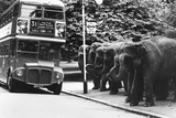 Elephants Queue at Battersea Park Bus Stop Photographic Print