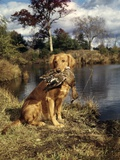 1980s Golden Retriever Holding a Dead Duck in Mouth Photographic Print