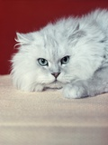 Gray White Long Haired Cat Blue Eyes Pink Nose Looking at Camera Uncertain Secret Mean Expression Photographic Print