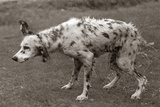 English Setter All Wet after Bath Shaking Water Off Photographic Print
