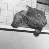 Wombat in a Bathtub Photographic Print