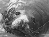 Face of a Grey Seal Photographic Print