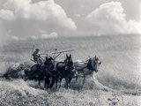 1920s-1930s Horse-Drawn Wheat Harvesting Fotografisk tryk
