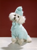 1970s White Poodle Wearing Blue Sweater and Knit Hat Photographic Print