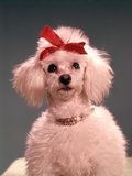 1960s White Poodle Wearing Gold Necklace Red Ribbon Photographic Print