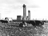 Cows Grazing Near Nuclear Power Plant Photographic Print