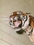 1960s Portrait Roaring Snarling Growling Mean Sumatra Tiger in Zoo Cage Photographic Print