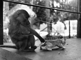 Baboon Pulls a Kitten's Tail Photographic Print