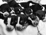 Swedish Foxhound Pups Asleep in Basket Photographic Print