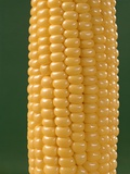Detail of an Ear of Yellow Corn on the Cob on Green Background Photographic Print