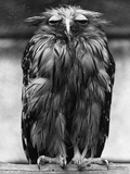 Javan Fish-Owl Photographic Print