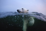 Polar Bear, Hudson Bay, Canada Photographic Print
