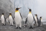 King and Gentoo Penguins on South Georgia Island Photographic Print