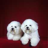 Two Bichon Frise Dogs Lying Down Photographic Print