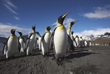 King Penguin Colony on South Georgia Island Photographic Print