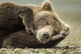 Sleeping Brown Bear, Katmai National Park, Alaska Fotografisk tryk