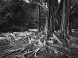 Roots of an Indian Rubber Tree Photographic Print