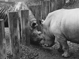 Rhinoceroses Greet Each Other Photographic Print