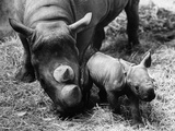 Black Rhinoceros with Her Baby Photographic Print