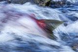 Spawning Salmon, Katmai National Park, Alaska Fotografisk tryk