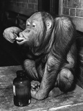 Orangutan Takes His Daily Medicine Photographic Print