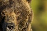 Brown Bear, Katmai National Park, Alaska Fotografisk tryk