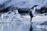 Leaping Gentoo Penguin, Antarctica Fotografisk tryk