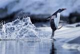 Leaping Gentoo Penguin, Antarctica Fotografie-Druck