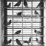 Young Pigeons in a Loft Reproduction photographique