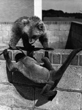 Woolly Monkey and Bear Cub at Play Photographic Print