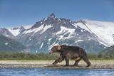 Brown Bear, Katmai National Park, Alaska Fotografie-Druck