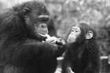 Chimpanzee with Her Young Photographic Print