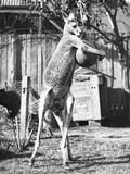 Kangaroo with a Punch Bag Photographic Print