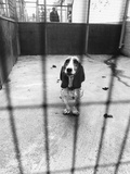 Beagle at Battersea Dog's Home Photographic Print