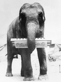 Circus Elephant with Harmonica Photographic Print