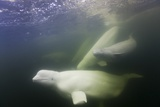 Beluga Whale, Hudson Bay, Canada Photographic Print