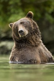 Brown Bear, Katmai National Park, Alaska Fotografisk tryk