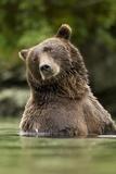 Brown Bear, Katmai National Park, Alaska Fotografická reprodukce