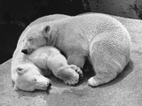 Polar Bear Cubs Asleep on a Rock Photographic Print