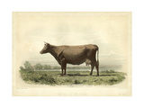 Vache D'Angeln Prints by I. Bonheur