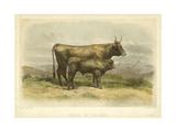 Vache De Salers Print by I. Bonheur