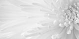 Doug Chinnery - Gentle Crysanthumum 1 Fotografická reprodukce