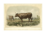 Vache De Devon Prints by I. Bonheur