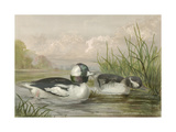 Bufflehead Ducks Print by Jr., A. Pope