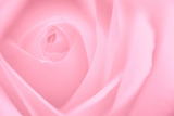 Soft Rose 2 Photographic Print by Doug Chinnery