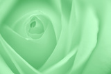 Soft Rose 5 Photographic Print by Doug Chinnery