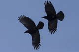 Black Birds Photographic Print by Art Wolfe
