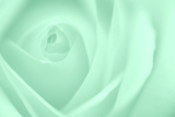 Soft Rose 10 Photographic Print by Doug Chinnery