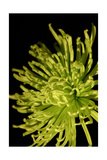 Small Fuji Mum I Prints by Renee W. Stramel