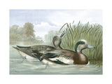 American Wigeon Ducks Posters by Jr., A. Pope